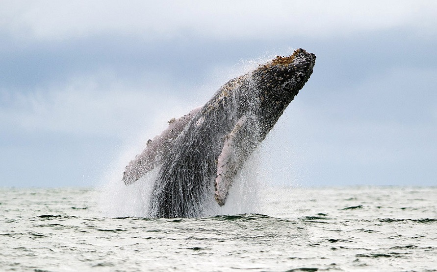Cuộc chạy đua  giữa cá voi và ốc sên biển