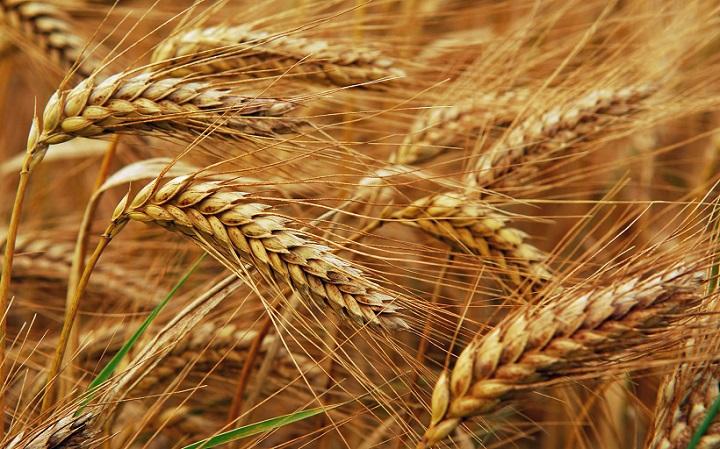 Lúa và cỏ