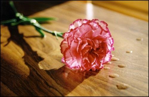 Sự tích hoa Cẩm Chướng - nàng công chúa chung thủy