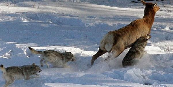 Nai và chó sói