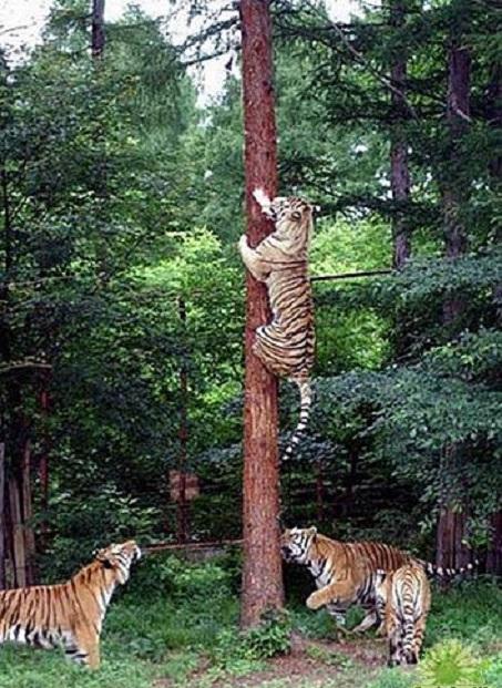 Cọp không biết trèo cây