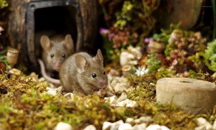 Săn chuột ở Thái Bình