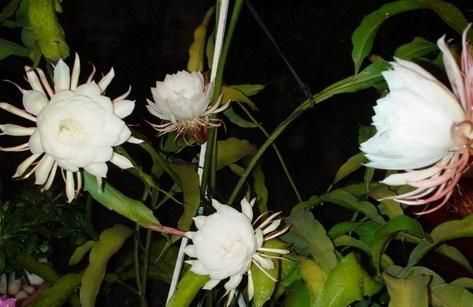 Sự tích hoa Quỳnh và hoa Mẫu Đơn