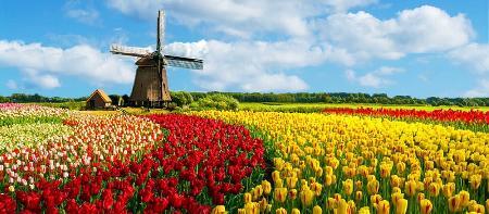 Sự tích hoa Tulip (Tuy líp, Uất kim hương) - Phần 1