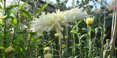 Bông hoa cúc trắng