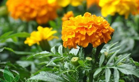 Sự tích hoa cúc vạn thọ