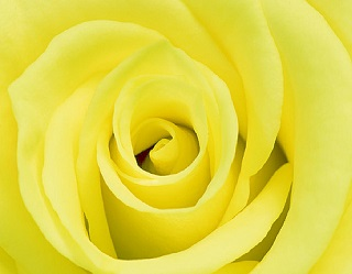Truyền thuyết hoa hồng vàng