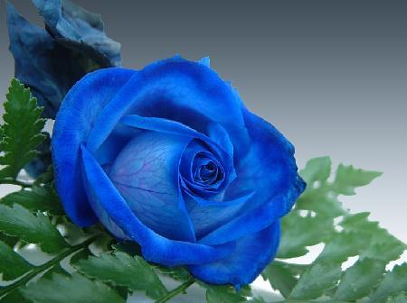 Truyền thuyết về hoa hồng xanh - Phần 2