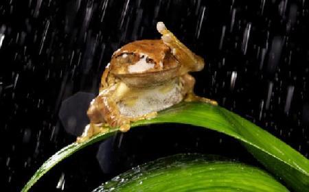Con cóc liếm nước mưa