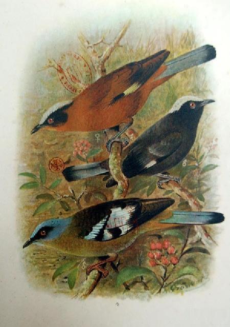 Sự tích chim khướu bạc đầu