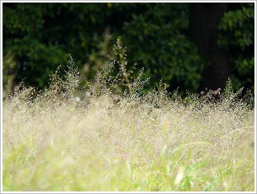 Sự tích hoa cỏ may