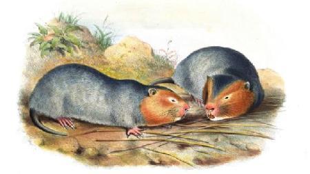 Chuột núi và chuột nhà