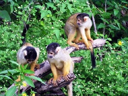 Ăn giỗ nhà khỉ