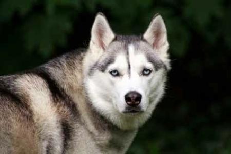 Chó sói tính lầm