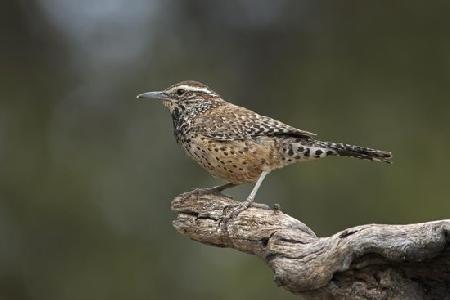 Chim Tiêu liêu là vua của các loài chim