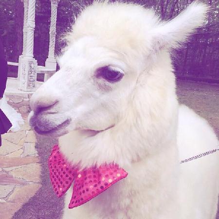 Con lạc đà màu trắng