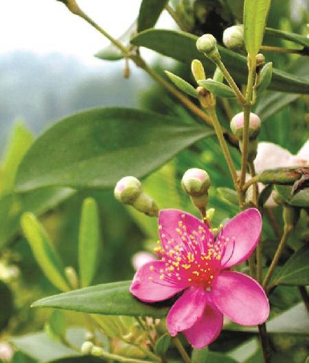 Sự tích thủy chung son sắc của hoa Sim và hoa Mua